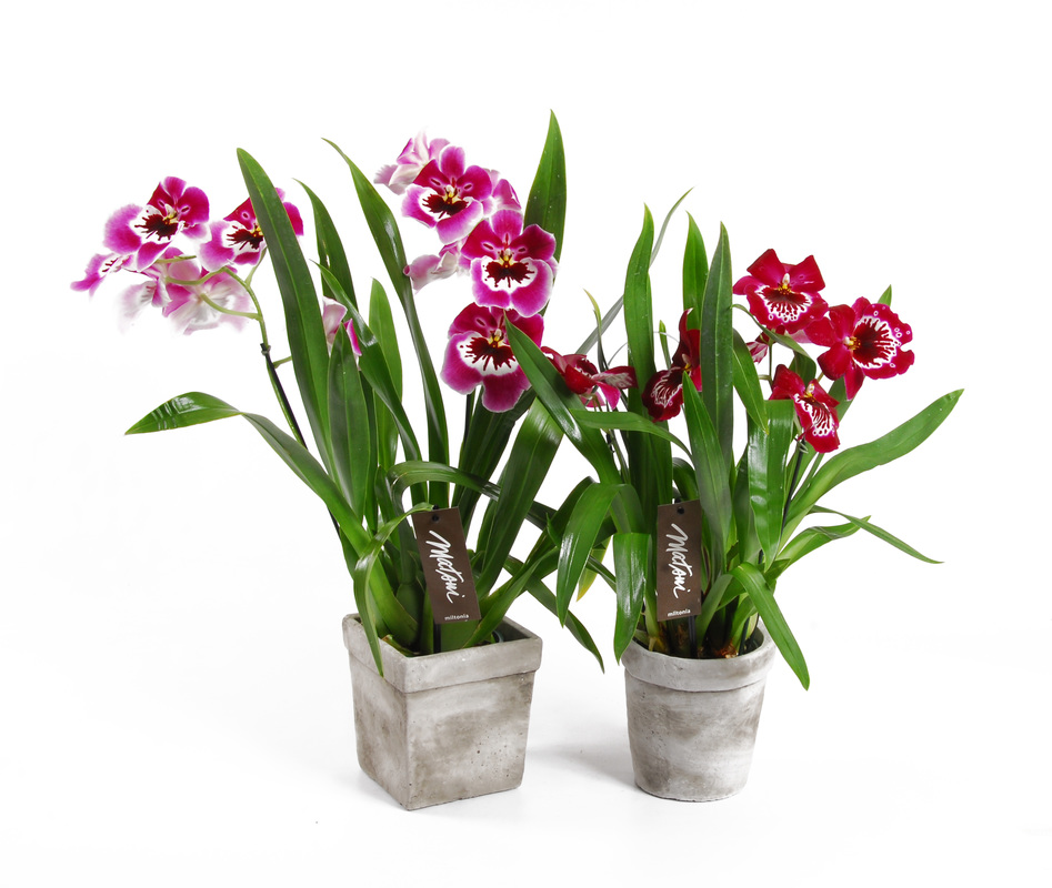 Orchid Care For Weeks Of Longevity